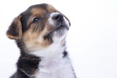 Un blanco rescatado perrito mixedbreed del fondo Foto de archivo