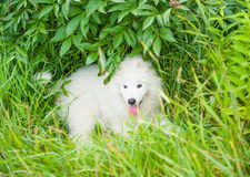 Un blanco samoed del perrito del perro Foto de archivo libre de regalías