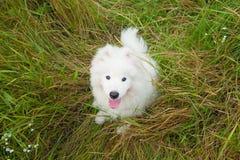 Un blanco samoed del perrito del perro Imagen de archivo