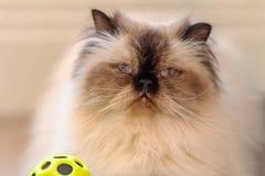 Un bleu a observé aux cheveux longs avec le chat de l'Himalaya de longue moustache pelucheuse blanche avec une boule images libres de droits