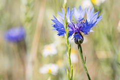 Un bleuet bleu dans un domaine d'été Images stock