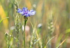 Un bleuet bleu parmi des épillets Photos libres de droits