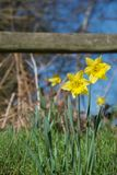 Un bloc des jonquilles jaunes lumineuses sur les tiges vertes à la lumière du soleil vive devant la barrière en bois photographie stock