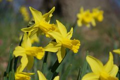 Un bloc des jonquilles jaunes lumineuses sur les tiges vertes à la lumière du soleil vive photos libres de droits