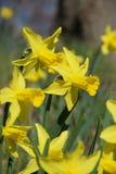 Un bloc des jonquilles jaunes lumineuses sur les tiges vertes à la lumière du soleil vive images stock