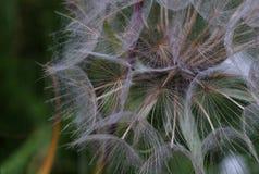Un blowball della pianta Fotografia Stock