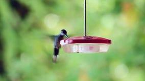 Un boire de colibri banque de vidéos