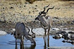 Un boire plus grand de mâles de kudu Photos stock
