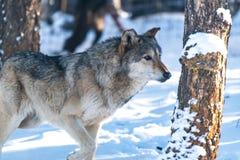 Un bois de construction Wolf Strolling Through la forêt de Milou photos stock