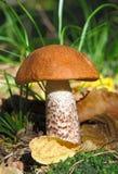 Un boleto del anaranjado-casquillo en la hierba Foto de archivo libre de regalías