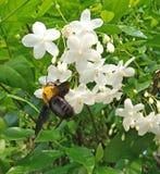 Un bombo su un fiore bianco che raccoglie polline e che riunisce n immagine stock libera da diritti
