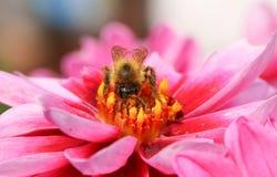 Un Bombus de la abeja nectaring en una flor de la dalia Fotografía de archivo