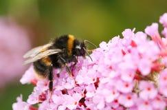 Un Bombus del abejorro se encaramó en una flor del Buddleia, conocida comúnmente como el arbusto de mariposa Imagen de archivo
