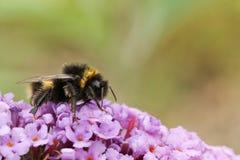 Un Bombus del abejorro se encaramó en una flor del Buddleia, conocida comúnmente como el arbusto de mariposa Fotografía de archivo