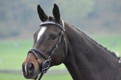 Un bon cheval de dressage tout a cloué et prépare pour la concurrence photographie stock