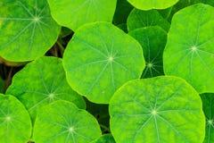 Un bon nombr'asiatiques de vert clair photos stock