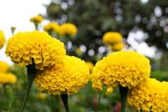 Un bon nombre de beau souci fleurit dans le jardin Photos stock