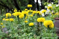 Un bon nombre de beau souci fleurit dans le jardin Images libres de droits