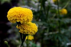 Un bon nombre de beau souci fleurit dans le jardin Image libre de droits