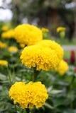 Un bon nombre de beau souci fleurit dans le jardin Images stock
