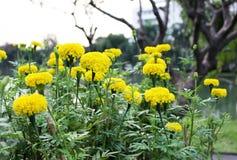 Un bon nombre de beau souci fleurit dans le jardin Photos libres de droits