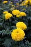 Un bon nombre de beau souci fleurit dans le jardin Photo libre de droits