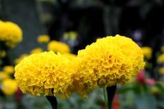 Un bon nombre de beau souci fleurit dans le jardin Photographie stock