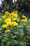 Un bon nombre de beau souci fleurit dans le jardin Image stock