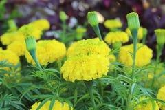 Un bon nombre de belles fleurs dans le jardin Ils s'appellent souvent le M photographie stock libre de droits
