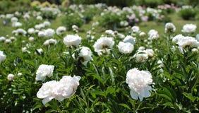 Un bon nombre de buissons blancs de pivoine Image stock