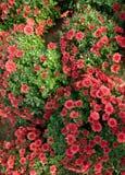 Un bon nombre de chrysanthemum Photo libre de droits