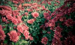 Un bon nombre de chrysanthemum Image libre de droits