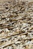 Un bon nombre de coquillages à la plage Photo stock
