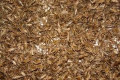 Un bon nombre de crickets Photos stock