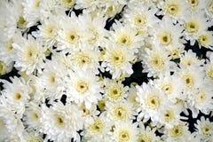 Un bon nombre de fleurs blanches et de pétales, fond naturel, beauté de jardin Photographie stock