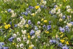 Un bon nombre de fleurs de pensée Photographie stock libre de droits