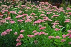 Un bon nombre de fleurs roses dans le jardin Photos libres de droits