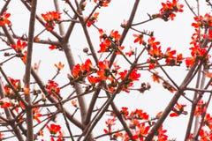 Un bon nombre de fleurs rouges de kapok Photographie stock libre de droits
