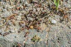 Un bon nombre de fourmis Image stock