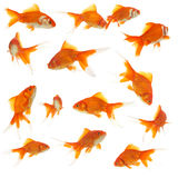 Un bon nombre de goldfishes Images libres de droits