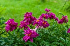 Un bon nombre de grandes fleurs roses de pivoine de fleur sur le grand arbuste à l'arrière-plan vert de jardin, temps ensoleillé photos libres de droits