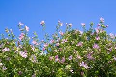 Un bon nombre de marguerites roses Photos stock