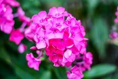 Un bon nombre de petites fleurs pourpres photos libres de droits