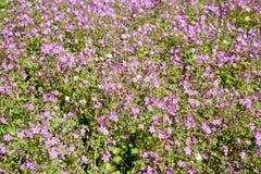 Un bon nombre de petites fleurs pourpres sur un pré pour des milieux images libres de droits