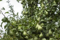 Un bon nombre de poires vertes mûres s'élevant sur un arbre, automne utile porte des fruits Photos stock