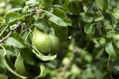 Un bon nombre de poires vertes mûres s'élevant sur un arbre, automne utile porte des fruits Image stock