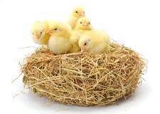 Un bon nombre de poulets jaunes nouveau-nés en foin nichent Photographie stock