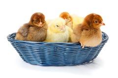 Un bon nombre de poulets nouveau-nés dans le panier en osier Photo stock