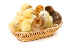 Un bon nombre de poulets nouveau-nés dans le panier en osier Photo libre de droits