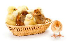 Un bon nombre de poulets nouveau-nés dans le panier en osier Photos libres de droits